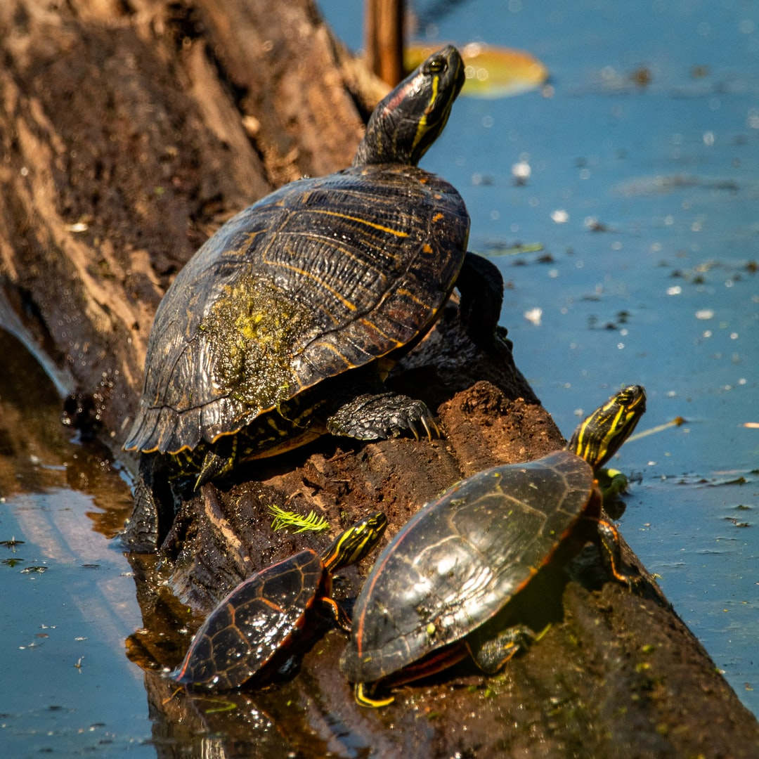 Turtles on a log in Oneal Lake at the Hatchie National Wildlife Refuge.