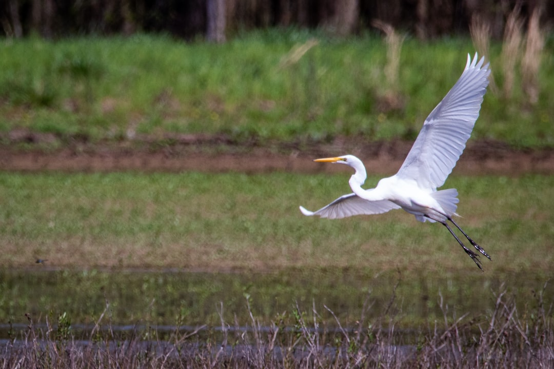 A great white egret takes off from a flooded field at the Hatchie National Wildlife Refuge.