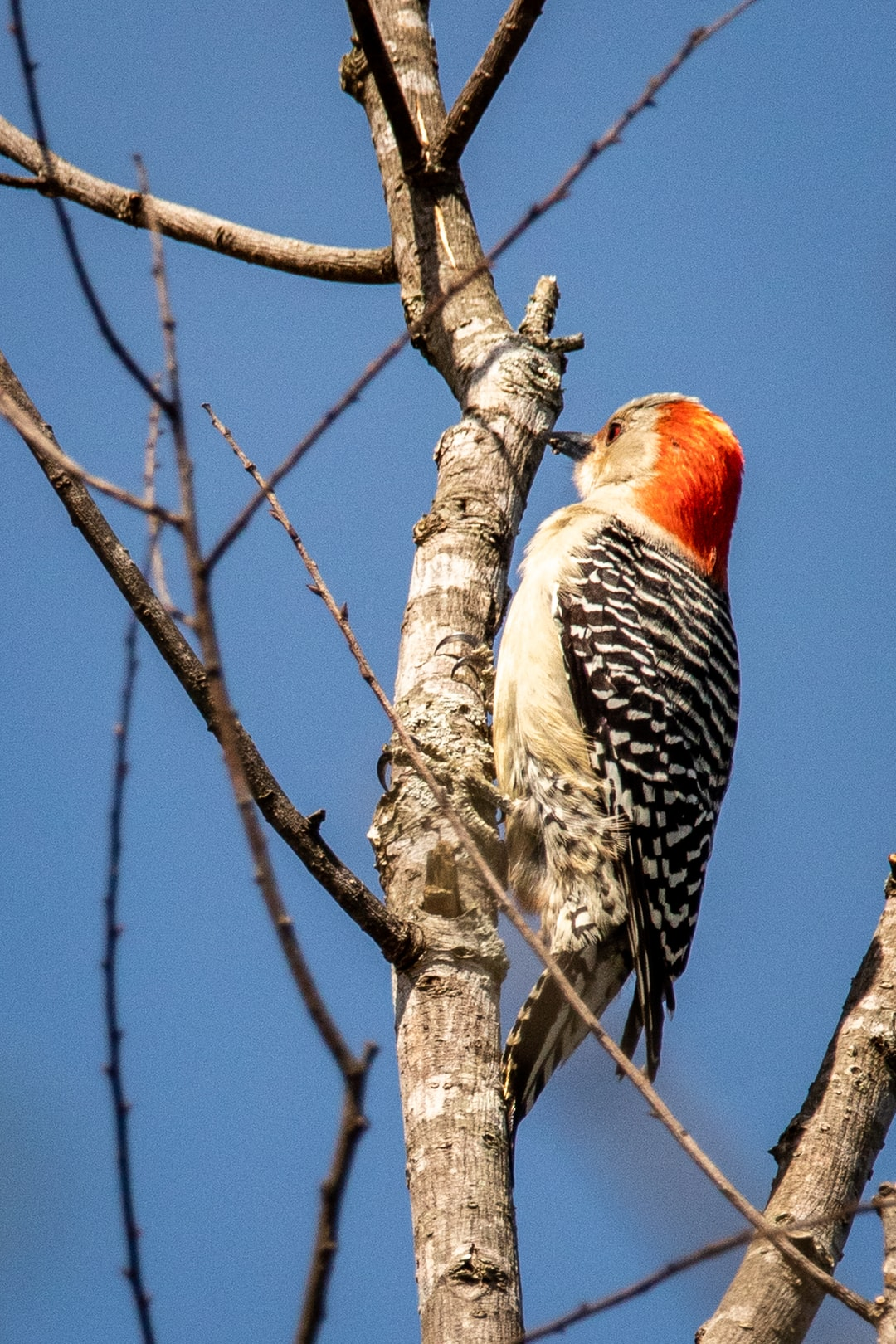 A female red-bellied woodpecker in a tree at the Hatchie National Wildlife Refuge.