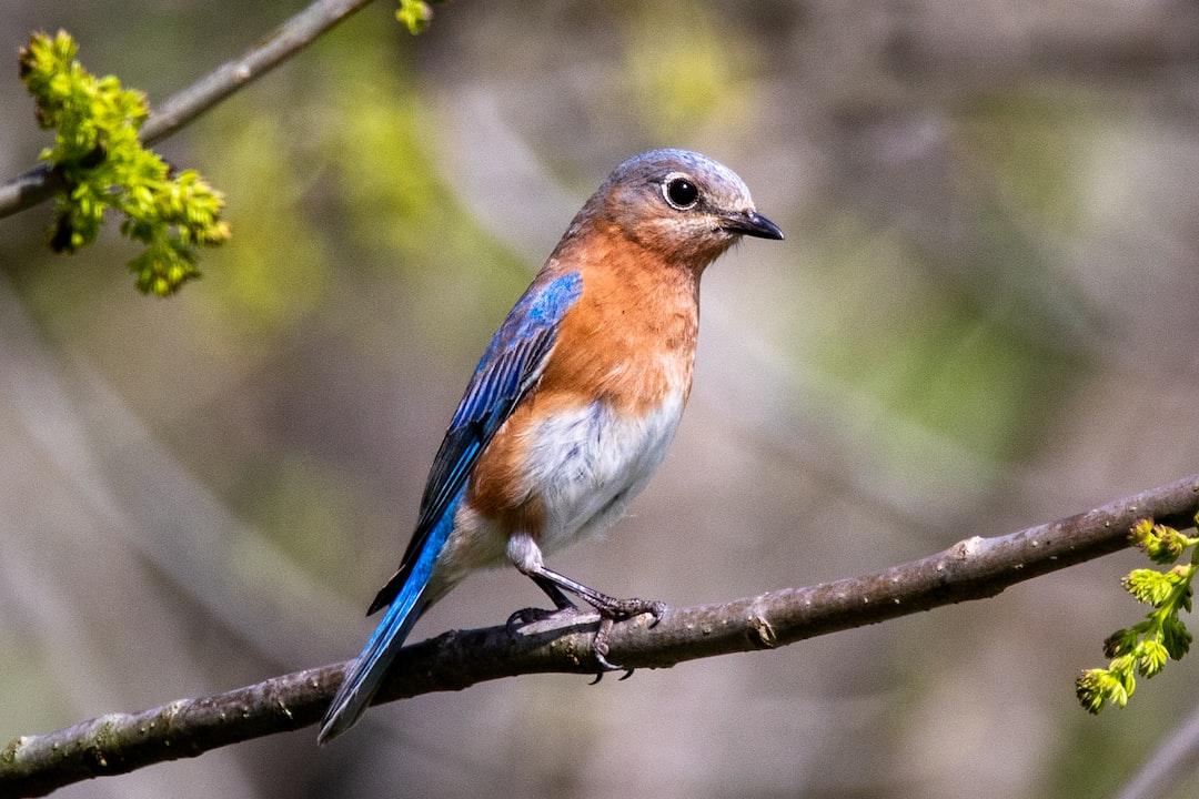 A female eastern bluebird perched on a branch.
