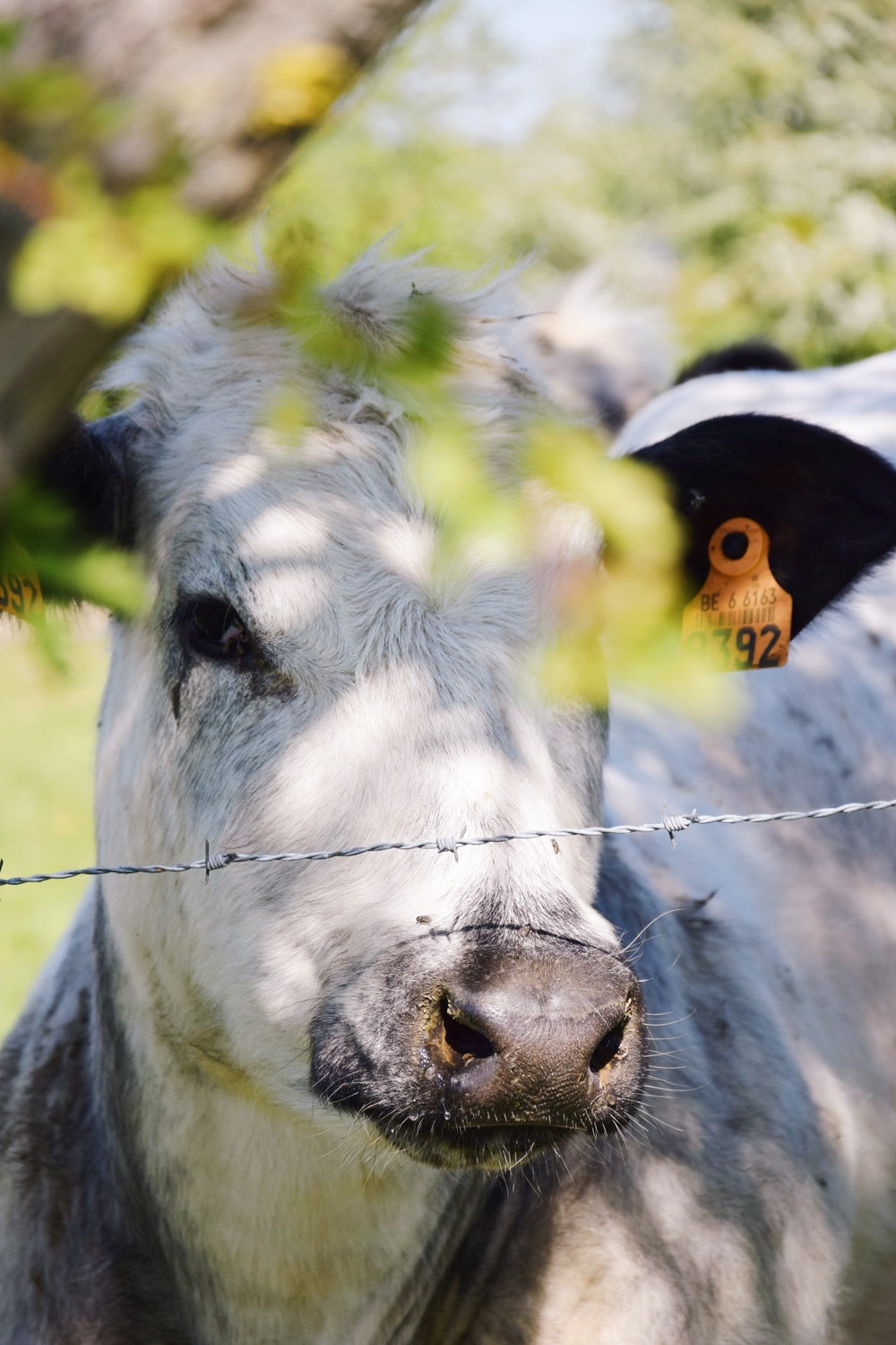 white and black cow with yellow and black hat