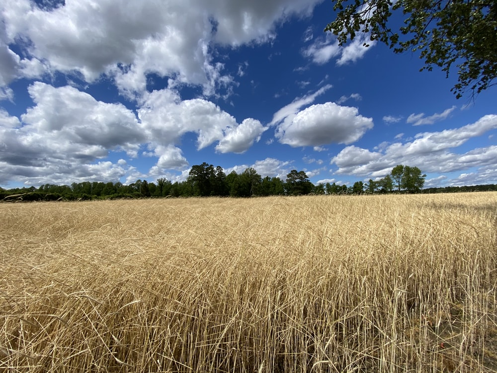 brown grass field under blue sky and white clouds during daytime