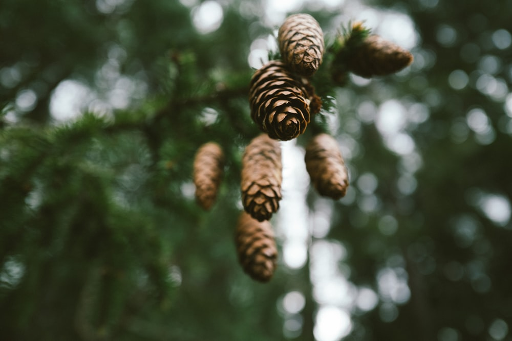 brown pine cone on green tree during daytime