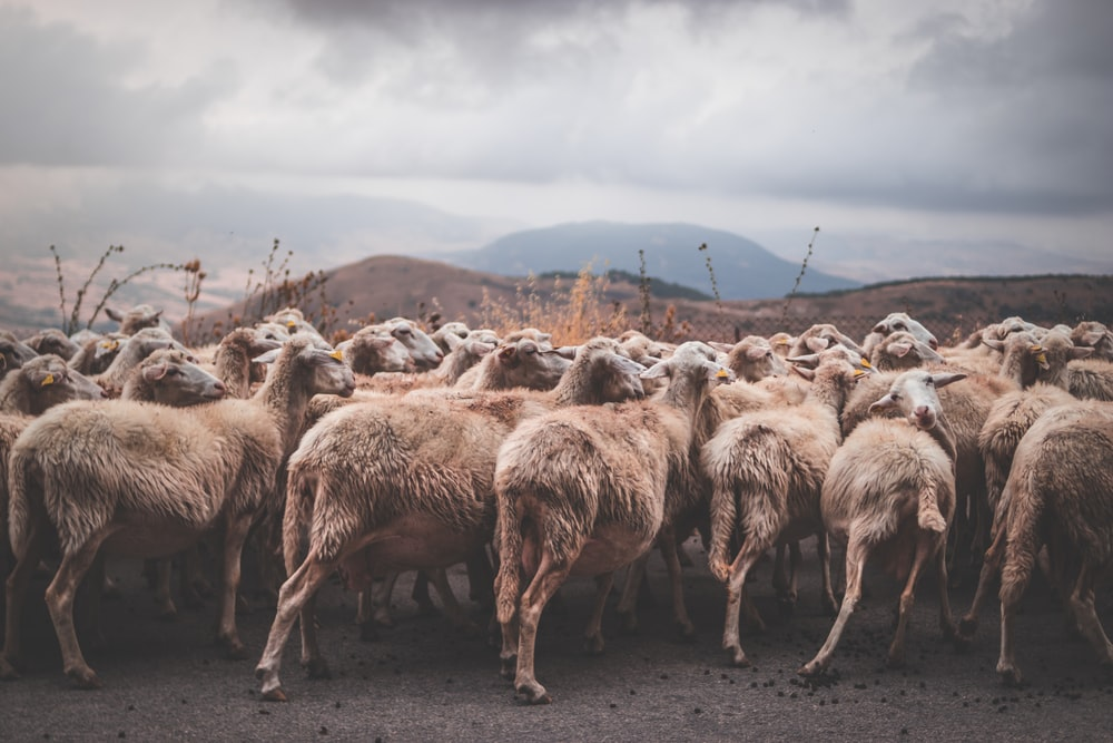 herd of sheep on brown sand during daytime