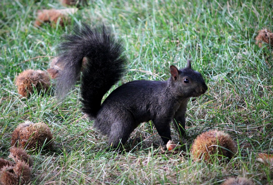 A black squirrel looks for nuts.