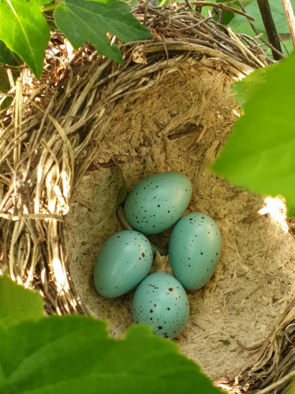 blue eggs on brown nest