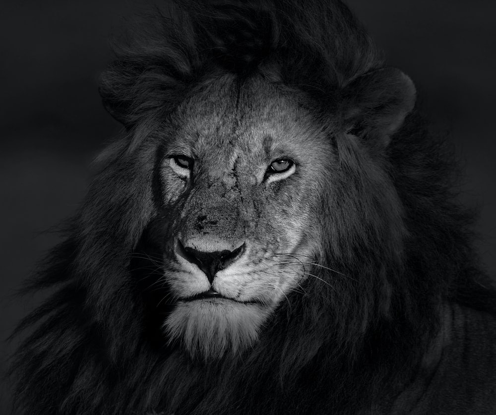 grayscale photo of lion face