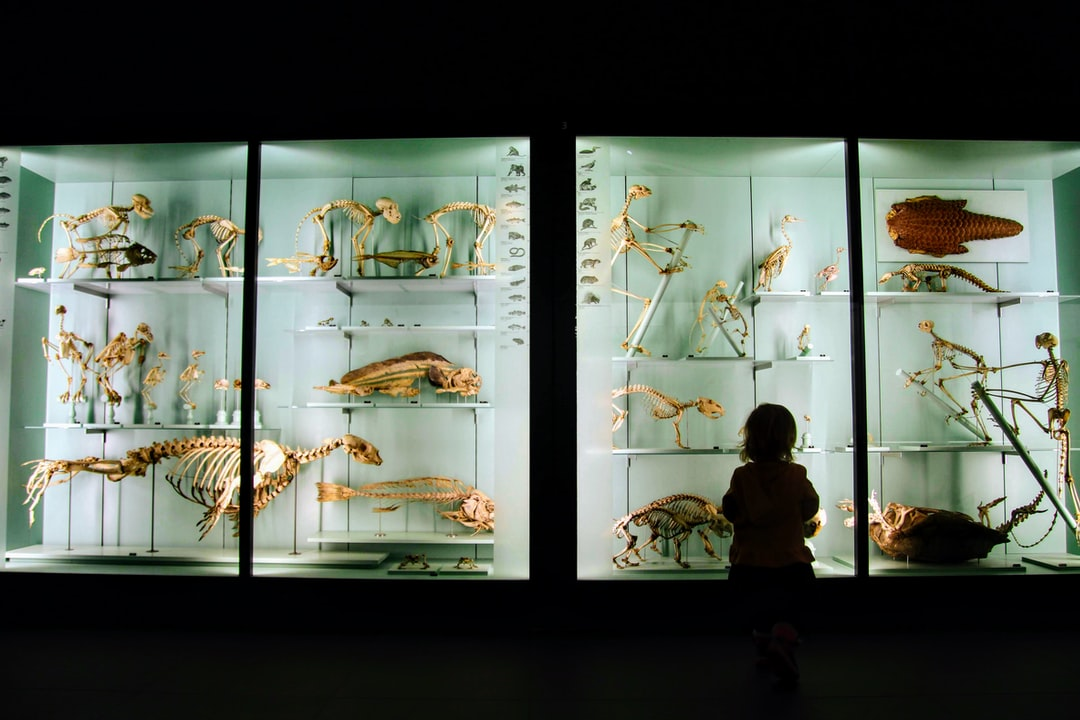 Child looking at animals skeletons in a Museum (Natural History Museum of Bern, Switzerland)