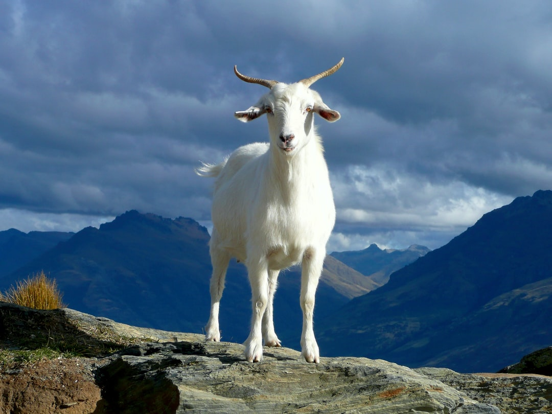 The goat was standing ontop of the mountain with interesting clouds