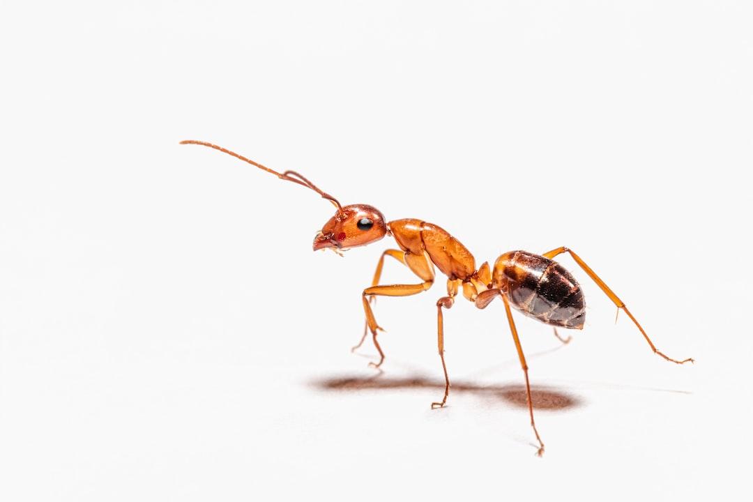 Spanish ant worker (Camponotus nylanderi)