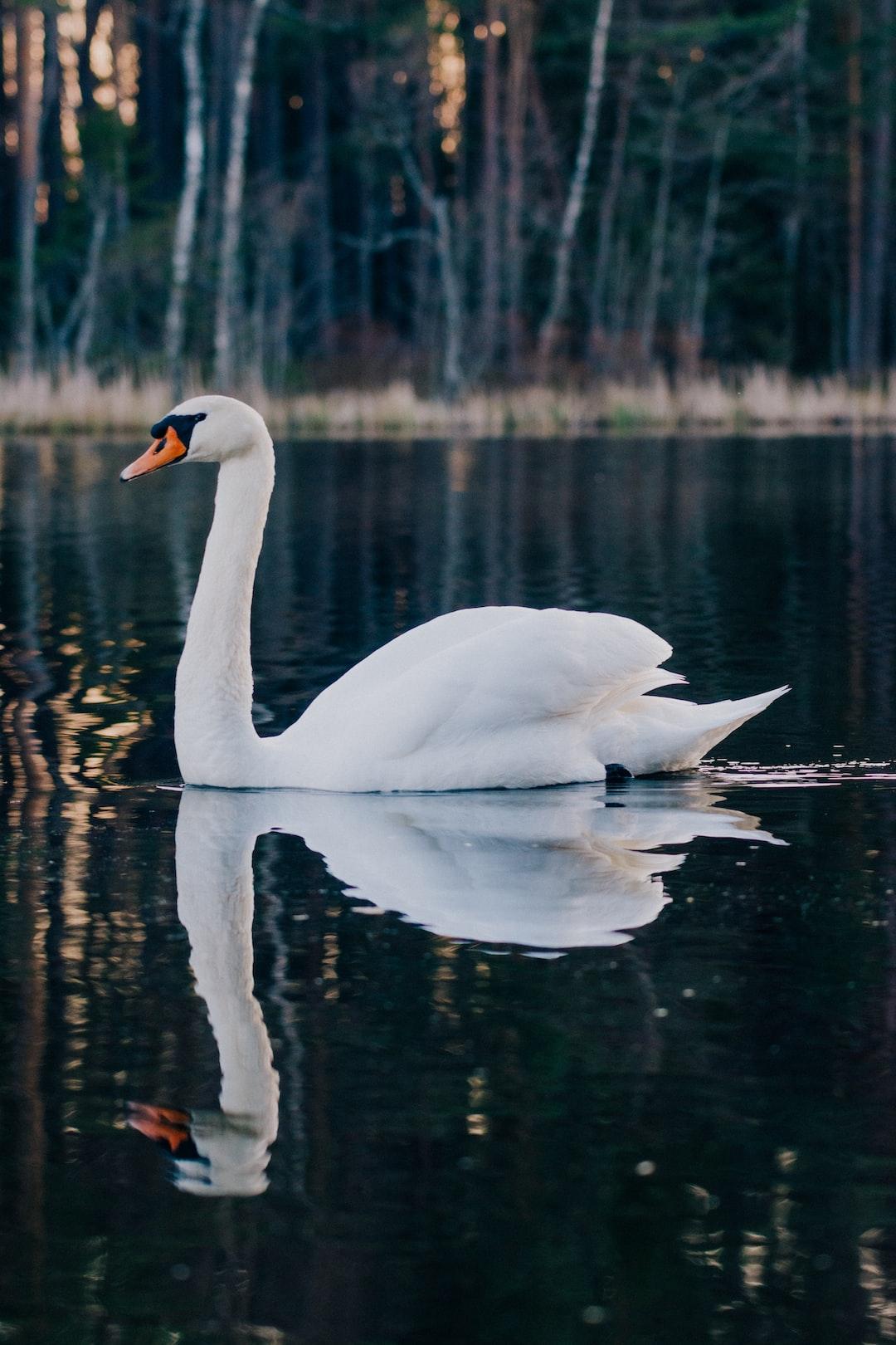 swan on  a boglake