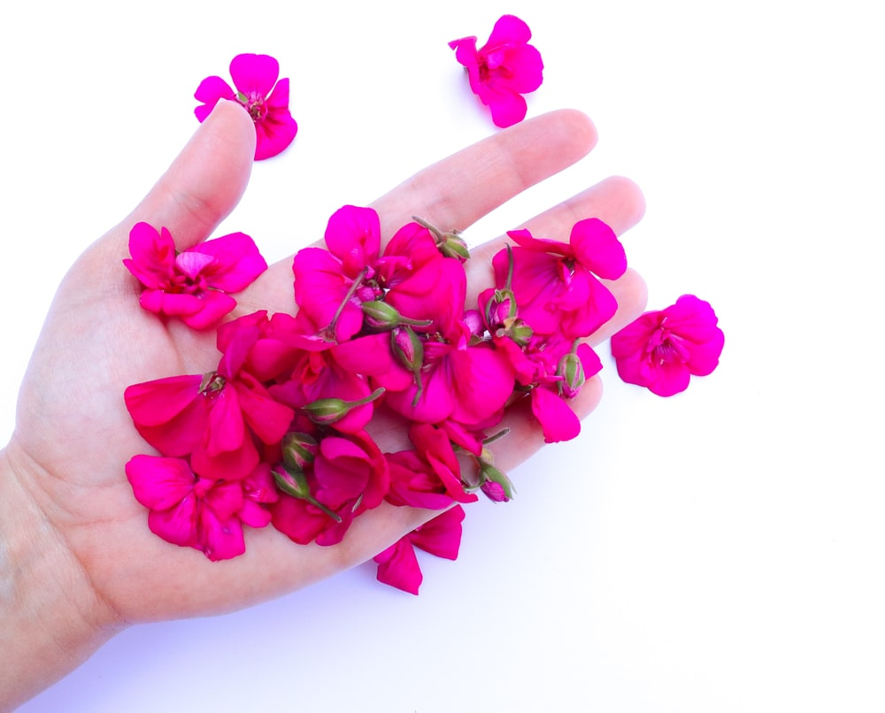 pink roses on persons palm