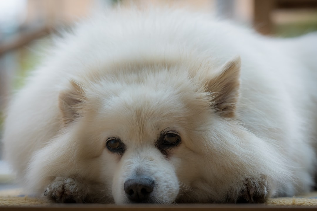 Our dog Zippo, looking sad, as he has to wait for his exercise at the moment, due to the current lockdown.