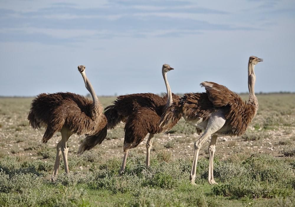 brown ostrich on brown grass field during daytime