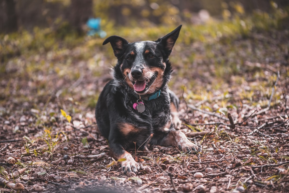 black and brown short coated dog sitting on brown dried leaves during daytime