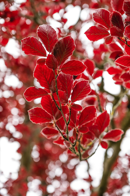 red leaves in tilt shift lens