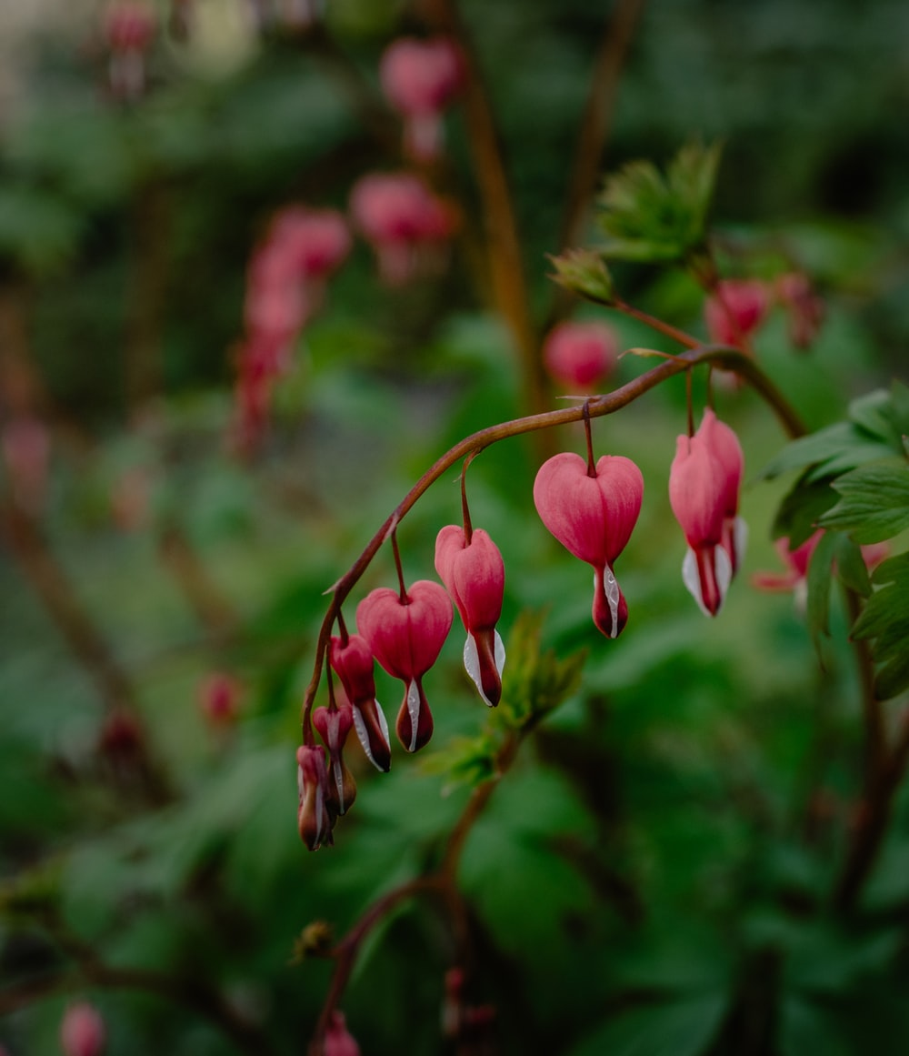 pink bleeding heart flowers in close up photography