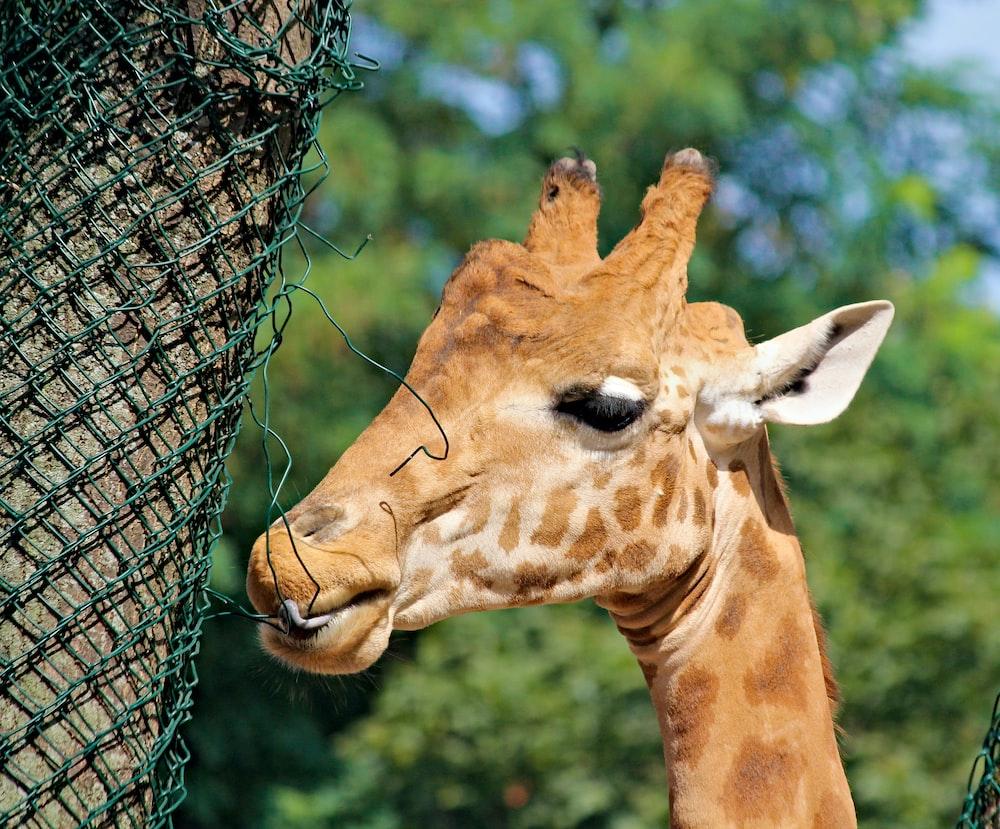 brown giraffe behind gray metal fence during daytime