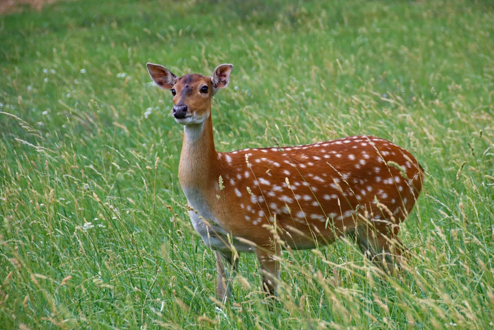 brown and white spotted deer on green grass field during daytime