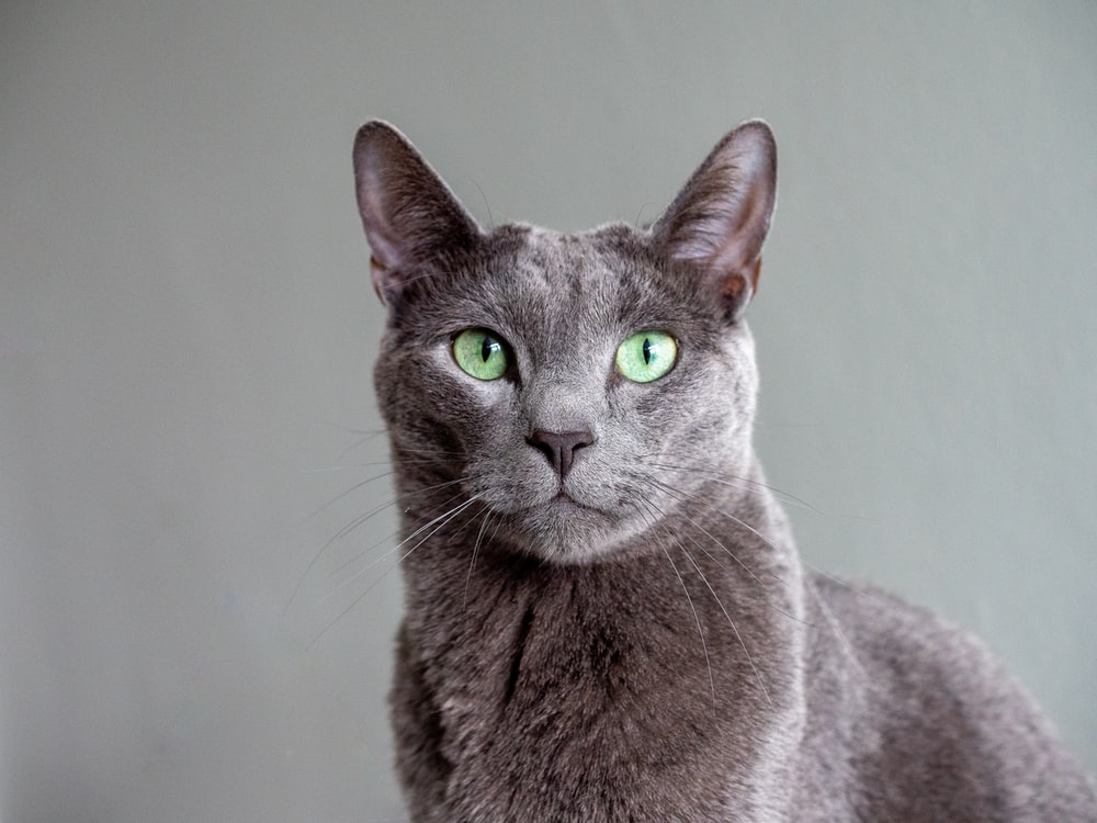 russian blue cat in white room
