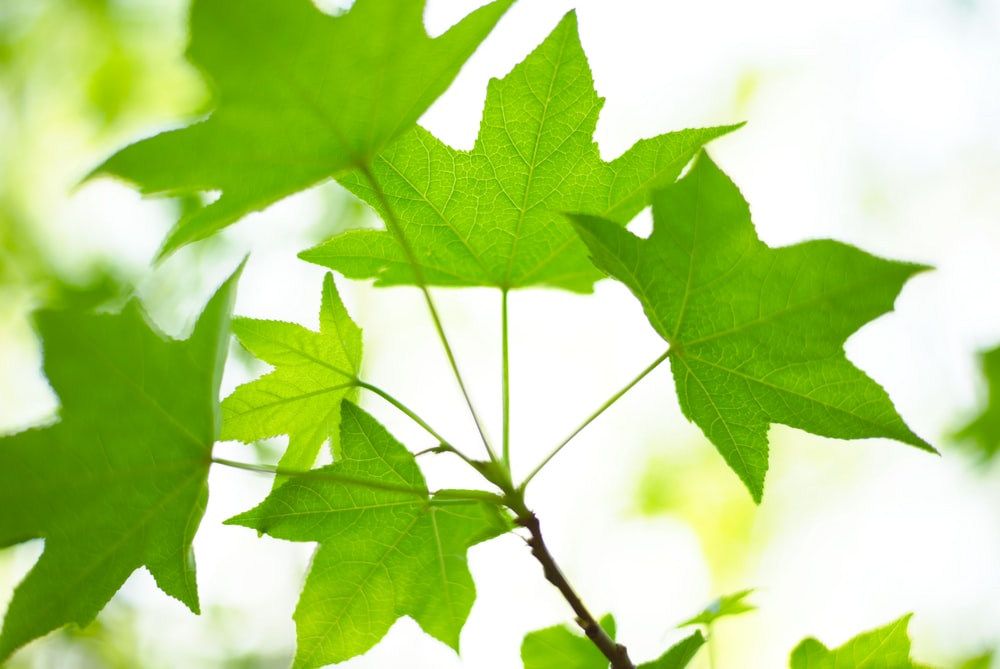 green maple leaf in close up photography