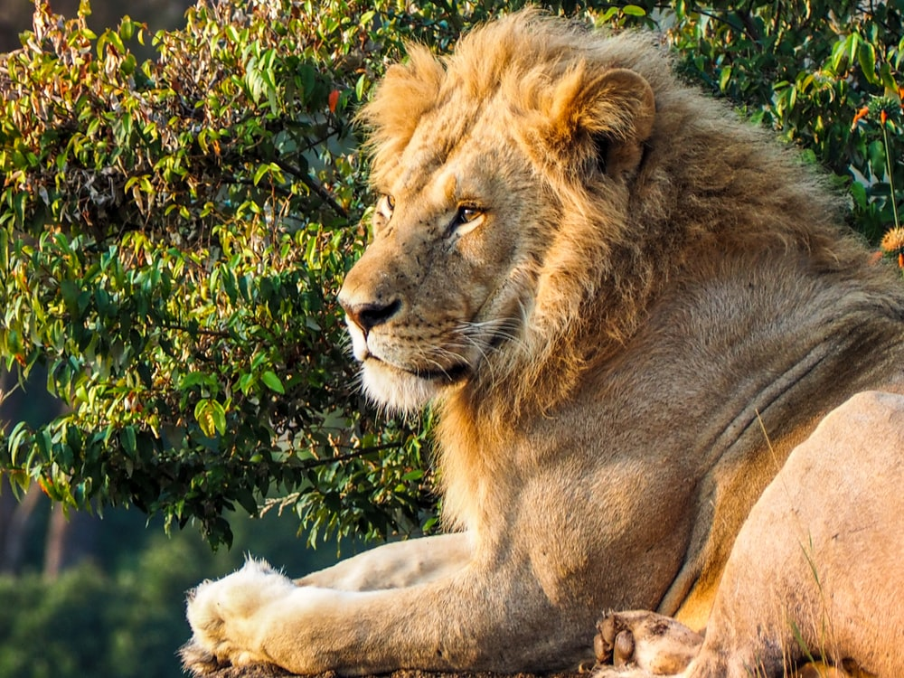brown lion lying on ground beside green plant during daytime