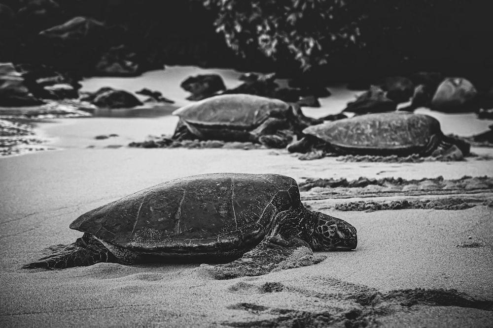 black turtle on white sand during daytime