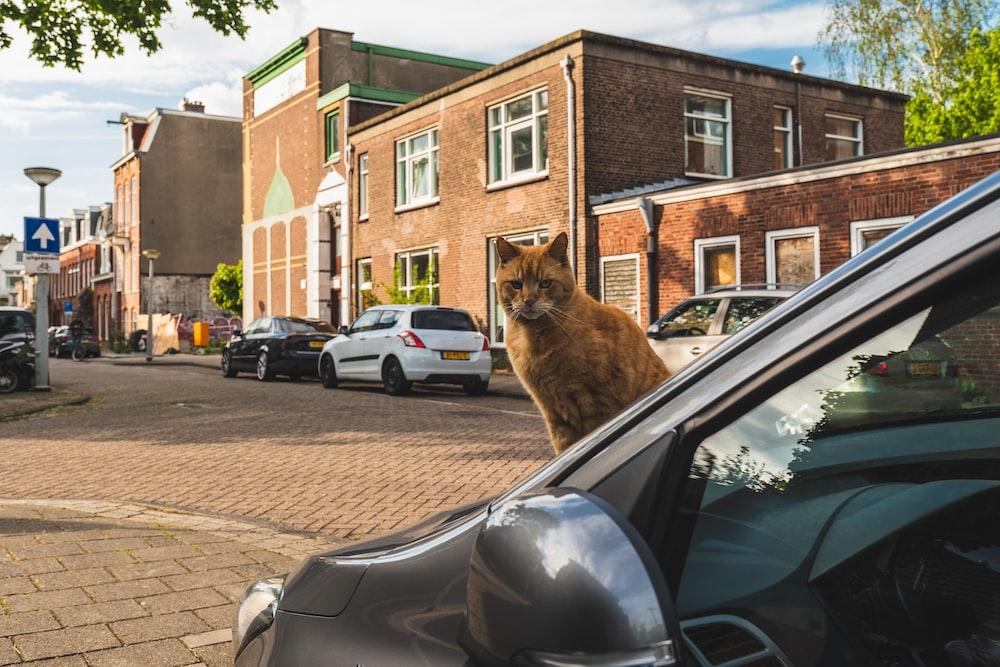 brown tabby cat on car