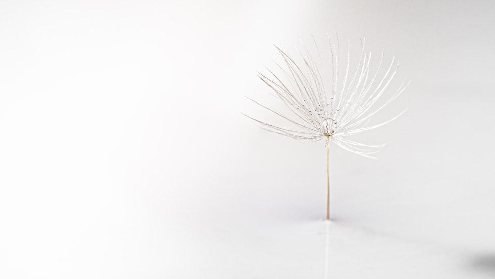 white dandelion on white surface