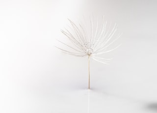 white dandelion on white surface