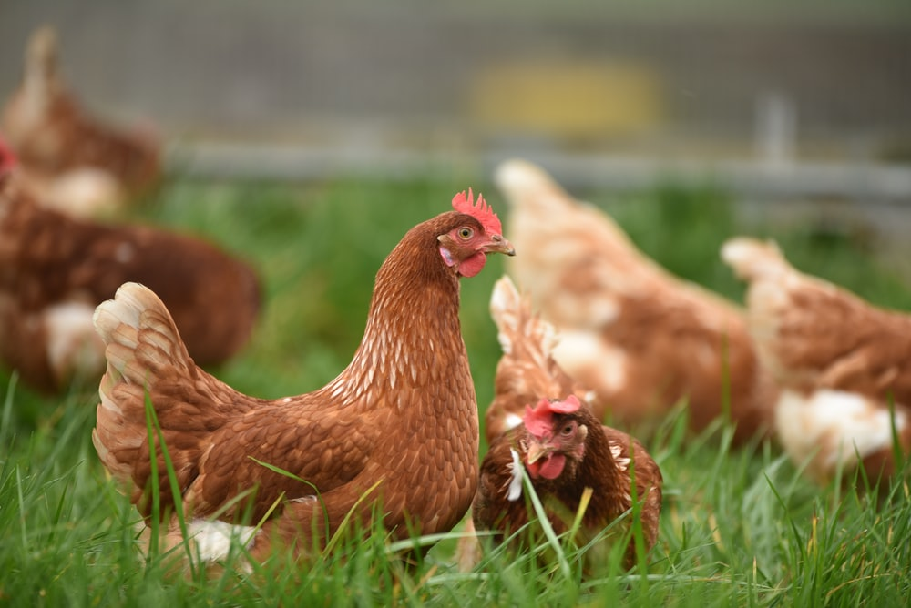 brown hen on green grass during daytime