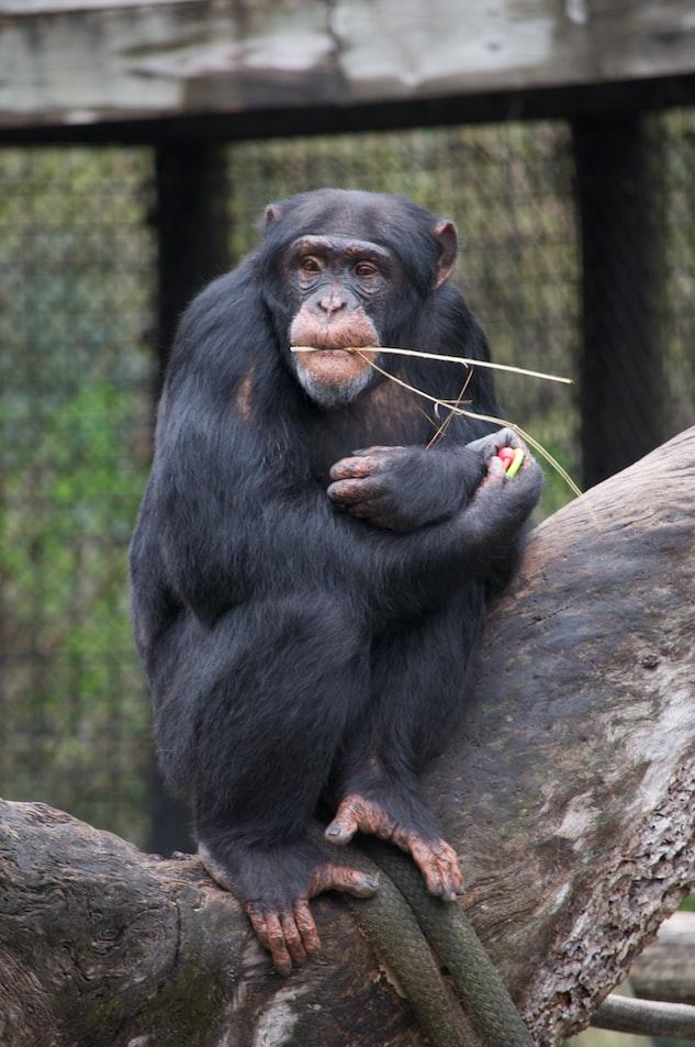 chimpanzee at Tampa Zoo