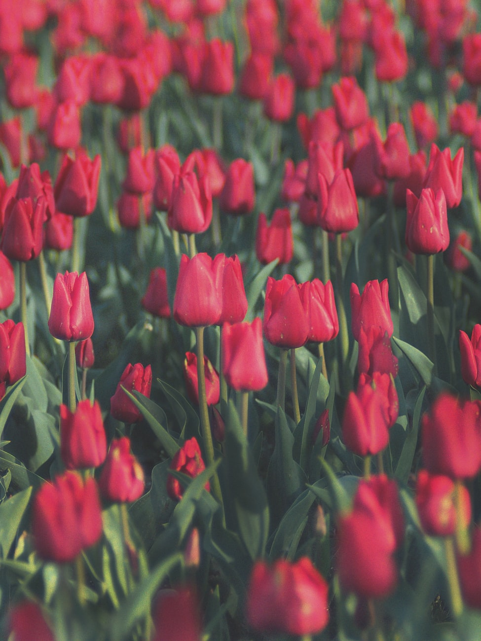tulips in Holland, Michigan