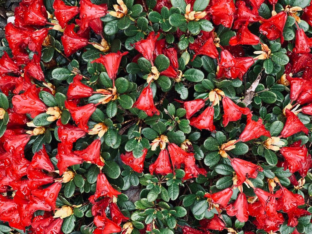 Red azalea.