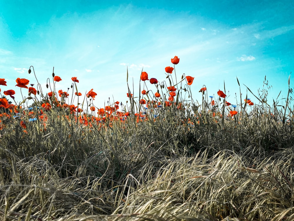 red flowers on brown grass under blue sky during daytime