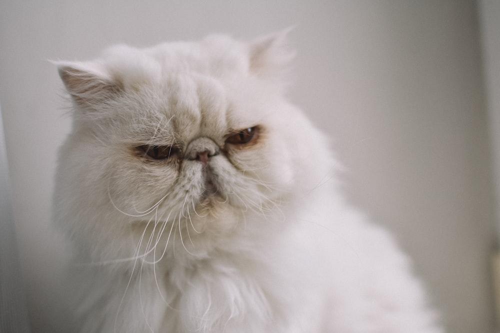 white persian cat on white textile