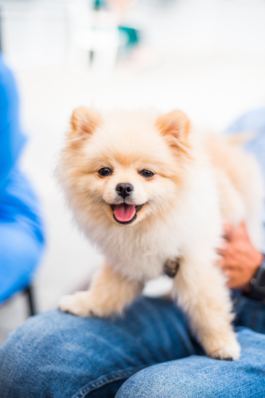 pomeranian dog sitting on lap