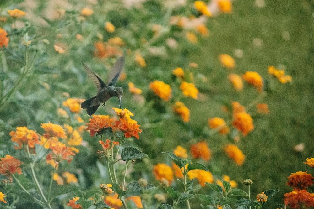 black bird flying over orange flowers