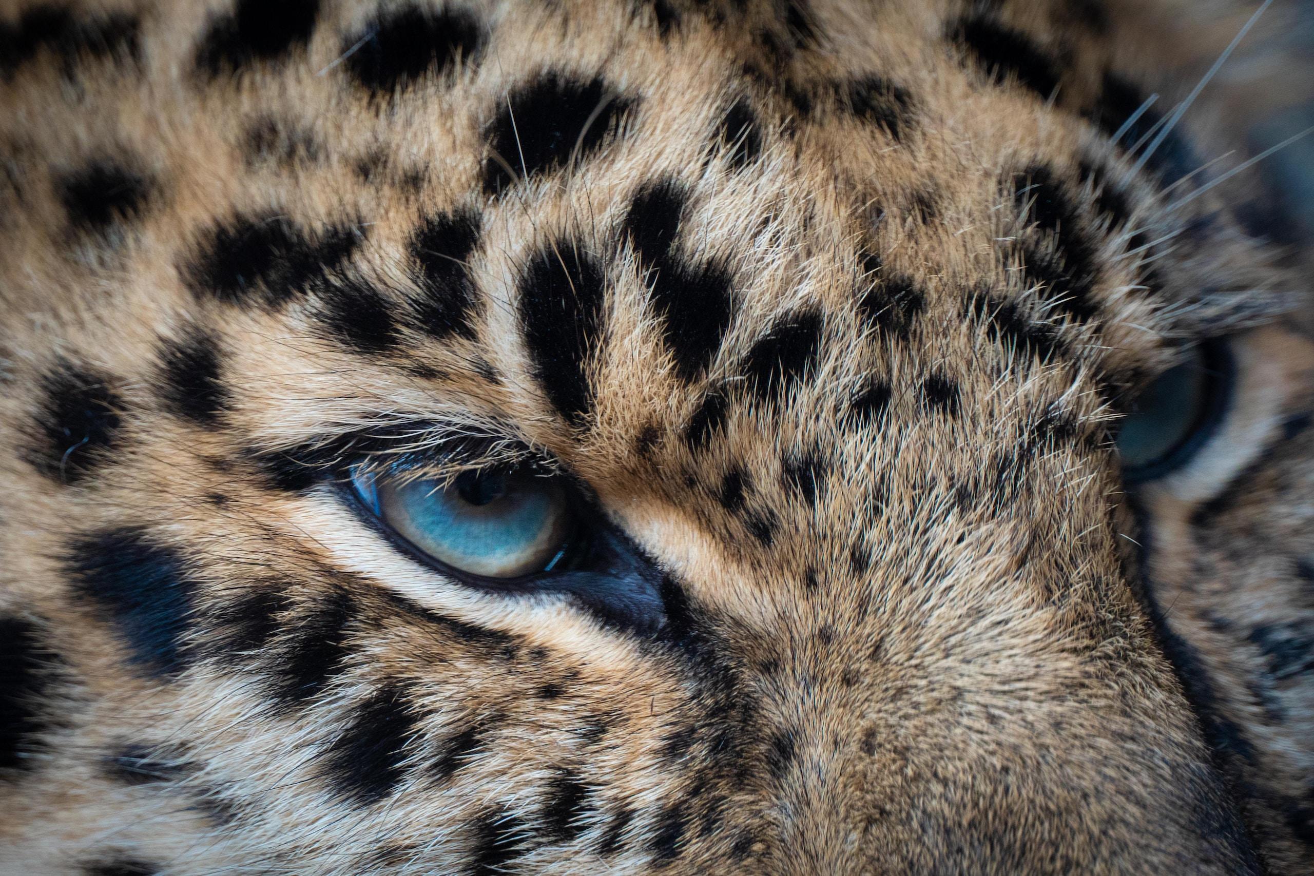 brown and black leopard illustration