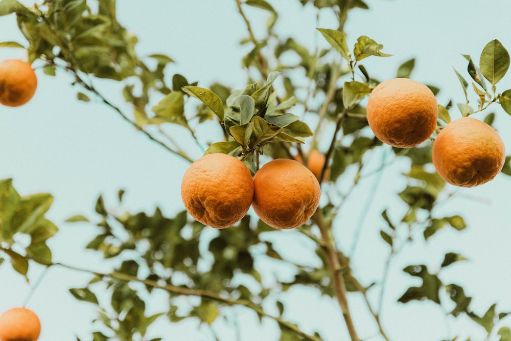 orange fruit on tree during daytime
