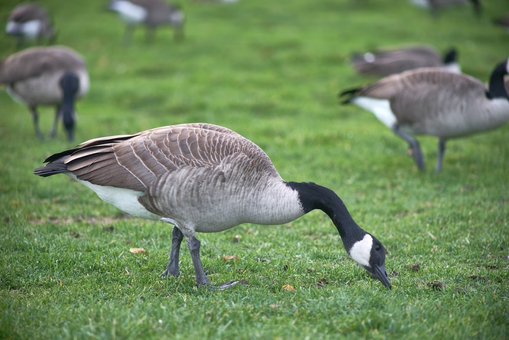 brown and white duck on green grass field during daytime