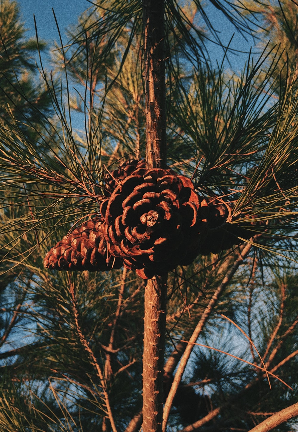 brown pine cone on brown tree branch