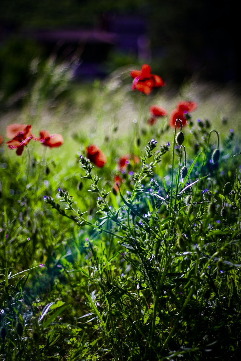 red flowers on green grass field during daytime