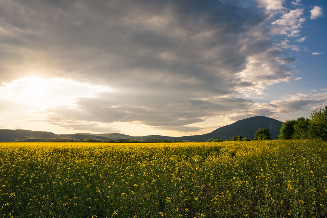 A panorama of a field of yellow rape or canola flowers, grown for the rapeseed oil crop. spring is here and it is beautiful to enjoy even in Sunset! Shot near Budapest, at Pilis mountains.
