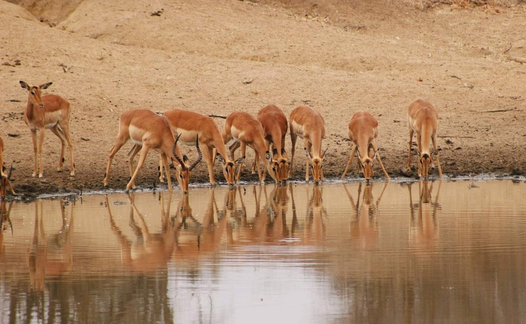 Impalas drinking water