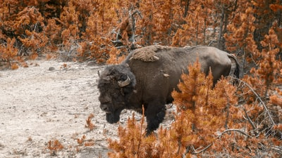 black bison on brown grass field during daytime yellowstone zoom background