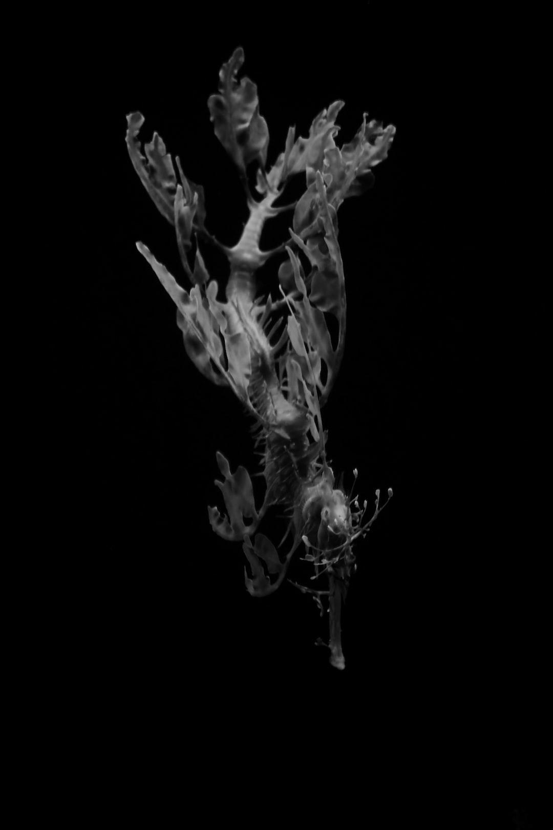 Dance of the Leafy Sea Dragon