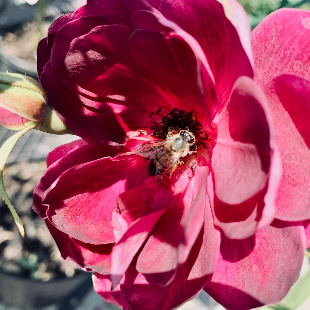 honeybee perched on red rose in close up photography during daytime