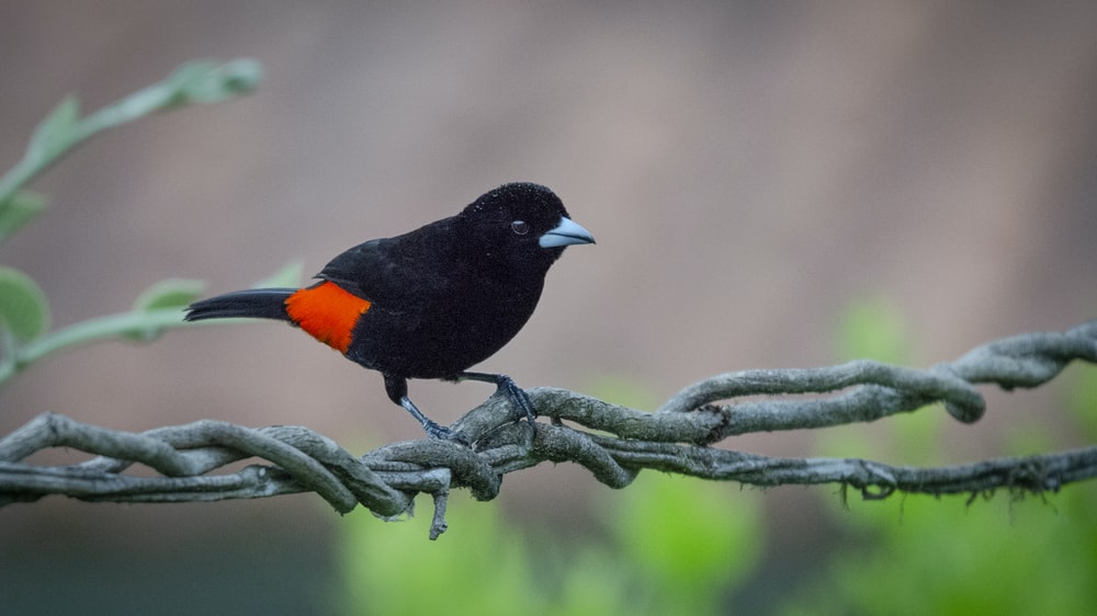 black and orange bird on tree branch