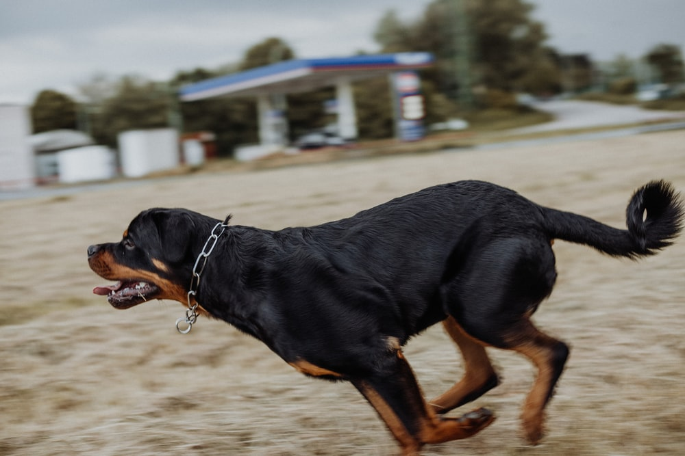 black and tan rottweiler running on brown field during daytime
